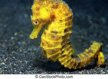 primer plano, (hippocampus, seahorse, indonesia, estrecho,...