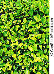 primer plano, imagen, de, fresco, primavera, hoja verde