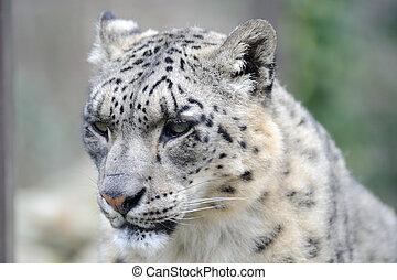 primer plano, leopardo, nieve