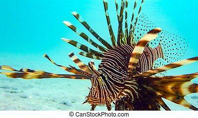 primer plano, maldives., antennata), (pterois, spotfin ...