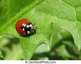 primer plano, naturaleza, insecto, fondo verde, escarabajo
