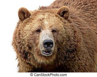 primer plano, oso pardo, aislado, blanco