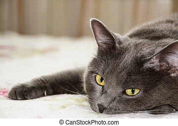 primer plano, pelo corto, gato gris