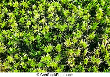 primer plano, plano de fondo, musgo, verde, sphagnum
