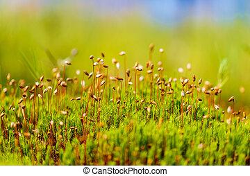 primer plano, sphagnum, swamp., verde, musgo