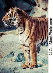 primer plano, Tigres, cara
