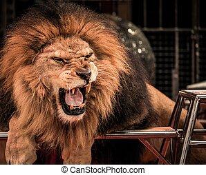 primer plano, tiro, de, magnífico, rugido, león, en, circo, arena