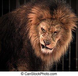 primer plano, tiro, de, rugido, león