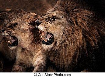 primer plano, tiro, de, rugido, león, y, leona