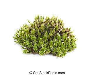 primer plano, verde, musgo, aislado, sphagnum