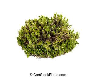 primer plano, verde, musgo de sphagnum, aislado