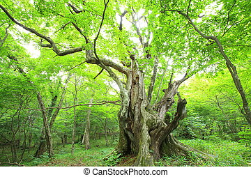 Primeval forest of Chestnut tree, Gunma, Japan