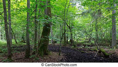 primitivo, caduco, estante, de, bialowieza, bosque, en, verano