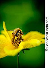 primo piano, ape, collects, nettare, fiore