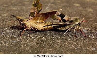 primo piano, di, accoppiare, farfalle