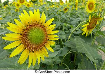 primo piano, di, fiore sole