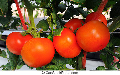 primo piano, di, pomodori freschi