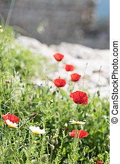primo piano, fiore, fuoco., selettivo, selvatico, papavero