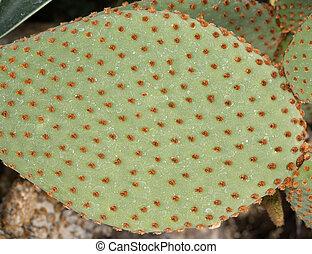 primo piano, foglia cactus