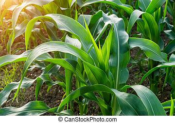primo piano, il, foglie, di, granaglie, in, agricoltura, farm.