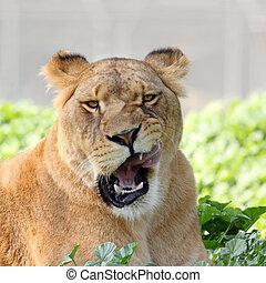 primo piano, leonessa, immagine