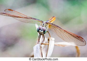 primo piano, libellula, su, asciutto, erba, con, priorità bassa vaga