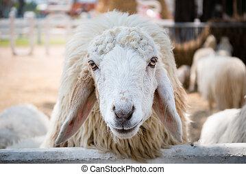 sheep lontano ranch su faccia chiudere fattoria