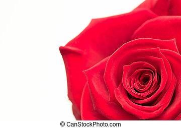 primo piano, rosa, rosa