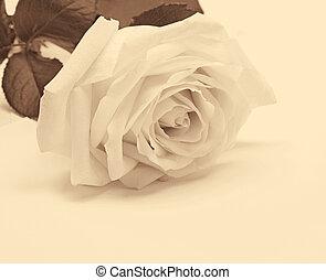 primo piano, toned., rosa, sepia, stile, fondo., retro, bianco