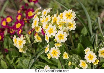 primrose blooming in spring