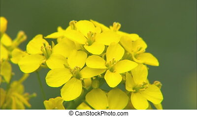 Primrose CU - CU of a primrose plant blowing in the breeze...