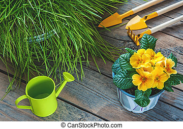 Primrose flower yellow, grass, watering can, shovel and rake for plant care. The concept of growing plants at home and in the city garden.