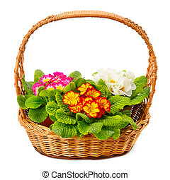 primrose in a basket isolated on white background