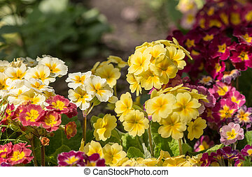 primrose in a spring garden