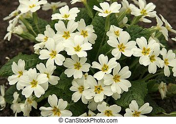 Primrose in the spring
