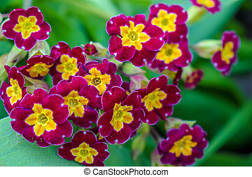Primrose or primula vulgaris is the first flower blossoming. Primrose in spring garden.