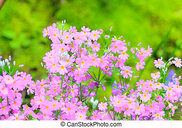 Primrose (Primula siboldii) in Japan