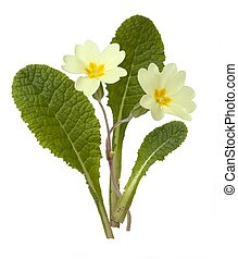 Primrose, Primula vulgaris - Cut-out Primrose plant on white...