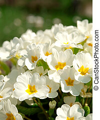 Primrose (primula vulgaris). Flowering in spring