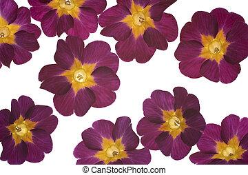 primrose - Studio Shot of Eggplant Colored Primrose on White...