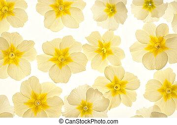 primrose - Studio Shot of Yellow Colored Primrose Flowers ...