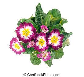 primrose top view - top view of tricolor hybrid primrose ...