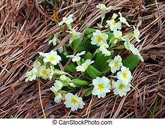 Primrose - yellow primrose