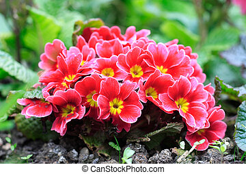 Primroses in a flower bed.