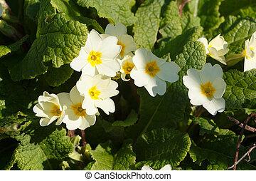 Primroses in a garden