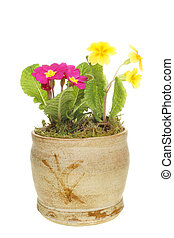 Primroses in a pot