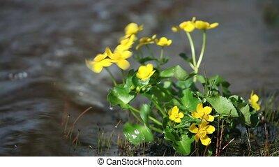 primroses marigold