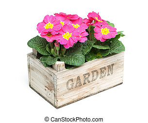 Group of pink primroses in garden crate, isolated on white background