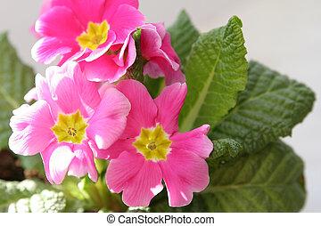 Primula - A pink primrose