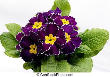 Primula Accaulis Flower 1